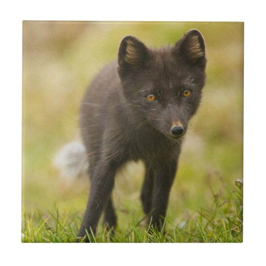 Arctic fox searches for food small square tile