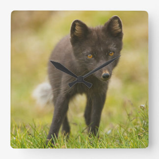 Arctic fox searches for food square wall clock