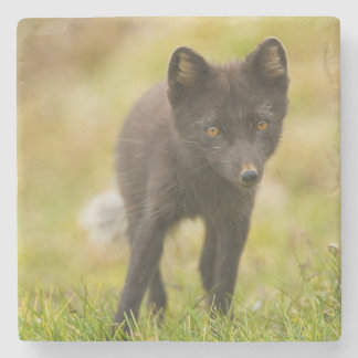 Arctic fox searches for food stone beverage coaster