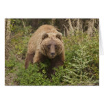 Arctic grizzly bear forages for soap berries 2 greeting card