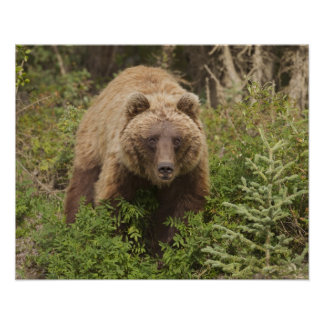 Arctic grizzly bear forages for soap berries 2 poster