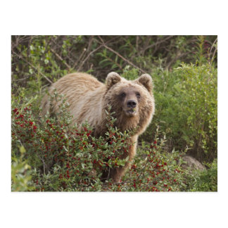 Arctic grizzly bear forages for soap berries postcard