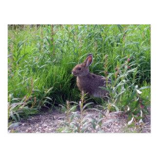 Arctic Hare Postcard