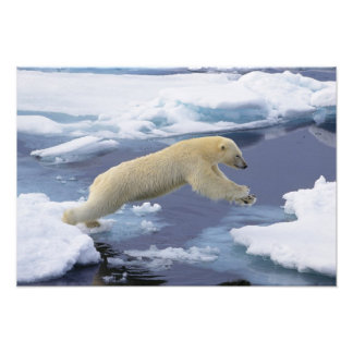 Arctic, Svalbard, Polar Bear extending and Photo Print