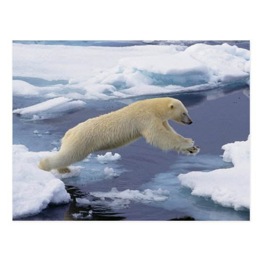 Arctic, Svalbard, Polar Bear extending and Postcard