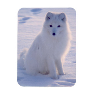 Arctic Winter Fox Photo Designed Magnet