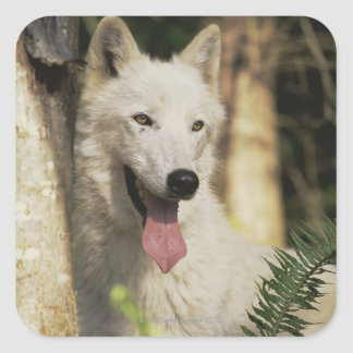 Arctic wolf in forest square sticker