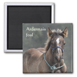 Ardennes draft horse foal square magnet
