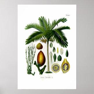 Areca catechu (betel nut palm) print