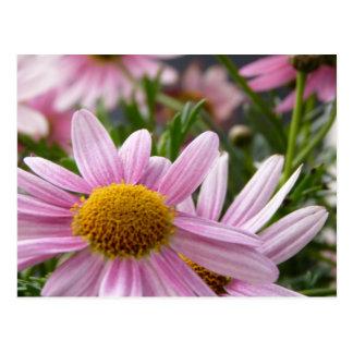 Argyranthemum frutescens Marguerite Daisies Postcards