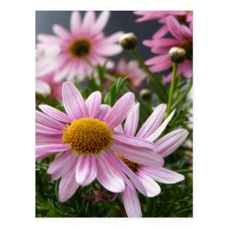 Argyranthemum frutescens Marguerite Daisies Postcard