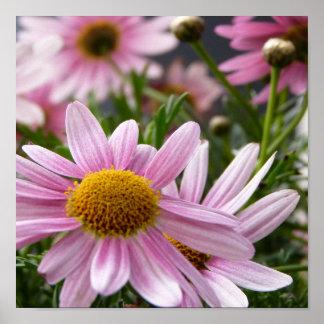 Argyranthemum frutescens Marguerite Daisies Posters