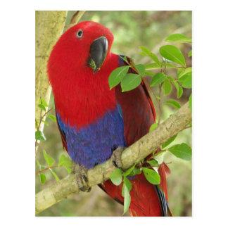 Aria Grand Eclectus Parrot Postcard