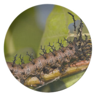 Arizona Horned Devil Caterpillar, Citheronia Dinner Plate