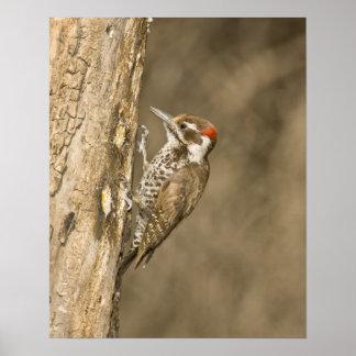 Arizona Woodpecker, Dendrocopos arizonae, South Poster