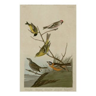 Arkansaw Siskin, Mealy Red-poll, Louisiana Tanager Poster