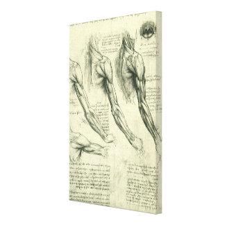 Arm and Shoulder Anatomy by Leonardo da Vinci Canvas Print