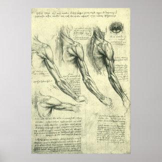 Arm and Shoulder Muscles Anatomy Leonardo da Vinci Print