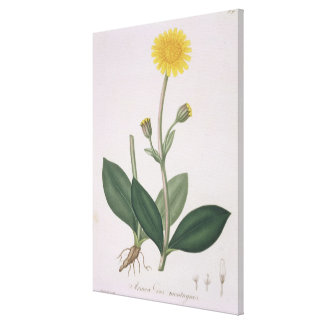 Arnica Montana from 'Phytographie Medicale' by Jos Canvas Print