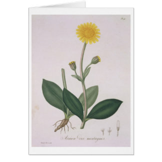 Arnica Montana from 'Phytographie Medicale' by Jos Card
