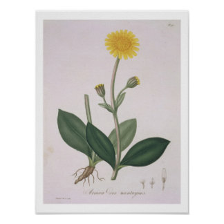Arnica Montana from 'Phytographie Medicale' by Jos Poster