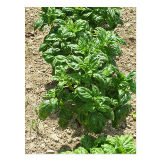 Array of basil plants postcard