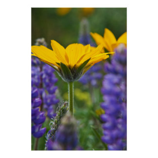 Arrowleaf Balsam Root and Lupine in Spring Bloom Poster