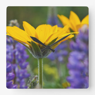 Arrowleaf Balsam Root and Lupine in Spring Bloom Square Wall Clock
