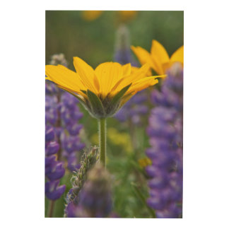 Arrowleaf Balsam Root and Lupine in Spring Bloom Wood Wall Art
