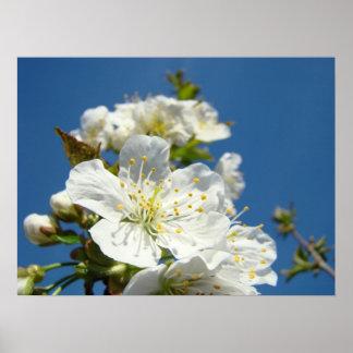 Art Prints Spring White Cherry Blossom Flowers Poster
