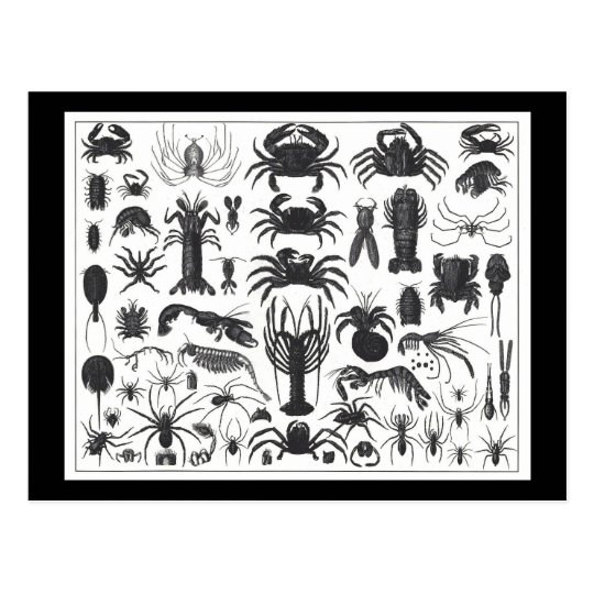 Arthropoda: spiders, crabs, lobsters B&W pattern Postcard