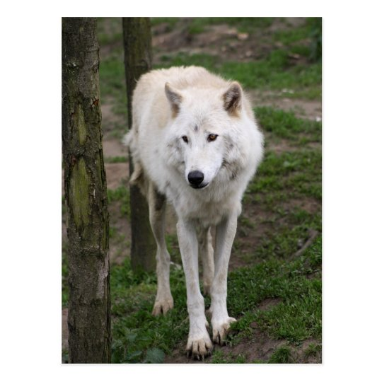 artic wolf postcard