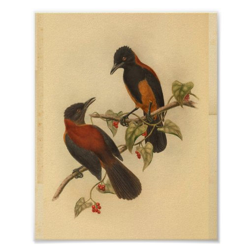 Aru Island Wood Shrike Red Black Bird Print