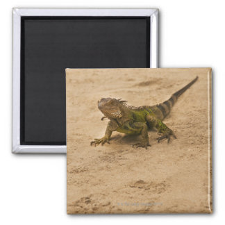 Aruba, lizard on sand magnet