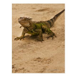 Aruba, lizard on sand postcard