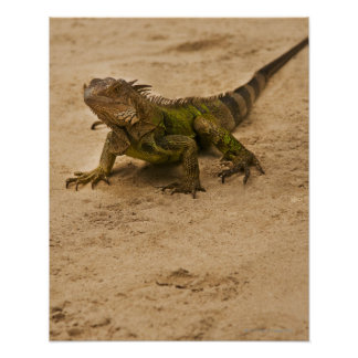 Aruba, lizard on sand poster