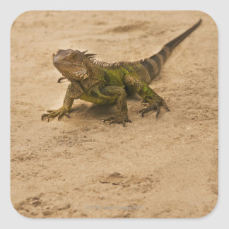 Aruba, lizard on sand square sticker