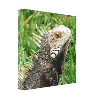 Aruban Lizard Stretched Canvas Print