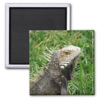 Aruban Lizard Square Magnet