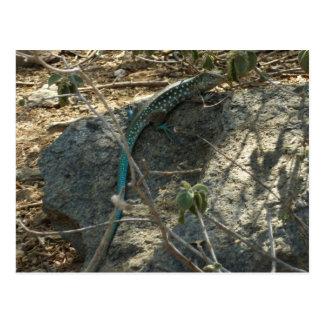 Aruban Whiptail Lizard Tropical Animal Photography Postcard