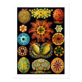 Ascidiacea (Sea Squirts), Haeckel Fine Art Postcard