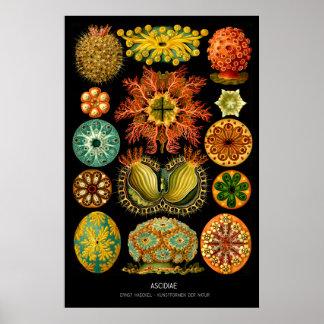 Ascidiae – Plate 85 - Kunstformen der Natur Poster