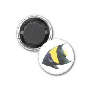 Asfur angelfish and Pomacanthus Asfur