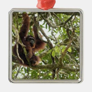 Asia, Borneo, Malaysia, Sarawak, Orangutan Christmas Ornament