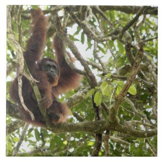 Asia, Borneo, Malaysia, Sarawak, Orangutan Tile