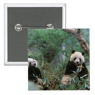 Asia, China, Chengdu. Giant Panda Sanctuary - 2 15 Cm Square Badge