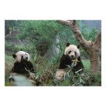 Asia, China, Chengdu. Giant Panda Sanctuary - 2 Art Photo