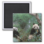 Asia, China, Chengdu. Giant Panda Sanctuary - 2 Square Magnet