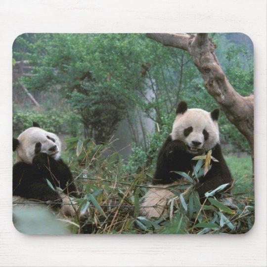 Asia, China, Chengdu. Giant Panda Sanctuary - 2 Mouse Pad