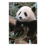 Asia, China, Chengdu. Giant Panda Sanctuary - 2 Photographic Print